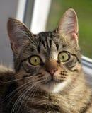 Ung stilig strimmig kattkatt hemma Arkivfoto