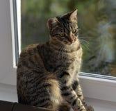 Ung stilig strimmig kattkatt hemma Royaltyfria Foton