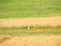 Ung stork i naturlig vana arkivbilder