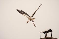 Ung stork på det första flyget Arkivbild