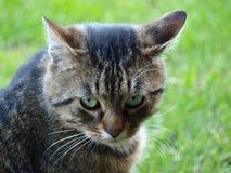Ung strimmig kattkatt Royaltyfri Bild