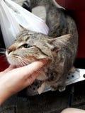 Ung strimmig kattkatt, kvinnahandskrapa hakan av en vit katt fotografering för bildbyråer