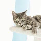 Ung strimmig kattkatt som spelar på ett kattträd Arkivfoton
