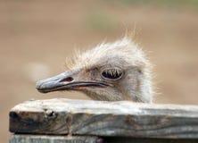 Ung strutsfågelframsida Fotografering för Bildbyråer