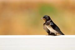 Ung svala (Delichonurbicumen), en utvandrande passerinefågel av t Royaltyfri Foto