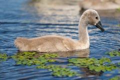 Ung svan för stum svan i Donaudelta fotografering för bildbyråer