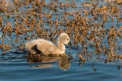 Ung svan för svart svan som söker för mat Royaltyfri Foto