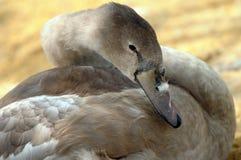 Ung svan på den Abbotsbury swanneryen Arkivfoto