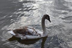 Ung svan på sjön Royaltyfri Bild