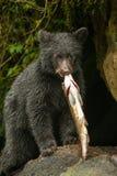 Ung svart björn arkivfoton