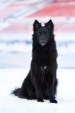 Ung svart hund Royaltyfria Foton