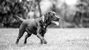 Ung svart labrador som lyckligt går i ett fält royaltyfria bilder