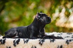 Ung svart rottingCorso valp som ligger i porfil Fotografering för Bildbyråer