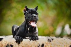 Ung svart rottingCorso valp som ligger på en filt Royaltyfri Bild