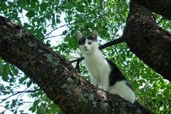 Ung svartvit katt på filial för körsbärsrött träd bland grön lövverk hopp som är klart till Botten beskådar Arkivfoto