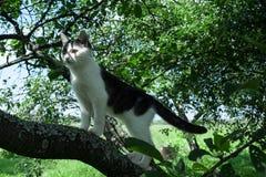 Ung svartvit katt på filial för körsbärsrött träd bland grön lövverk hopp som är klart till Botten beskådar Royaltyfri Bild