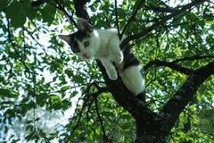 Ung svartvit katt på filial för körsbärsrött träd bland grön lövverk hopp som är klart till Botten beskådar Royaltyfria Foton