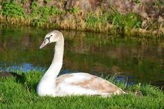 Ung swan Arkivfoton