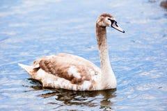 Ung swan fotografering för bildbyråer