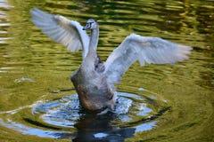 Ung swan Arkivbilder