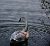 Ung swan Arkivfoto