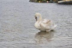 Ung swan Royaltyfria Bilder