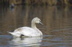 Ung Swan (cygnusoloren) royaltyfri fotografi