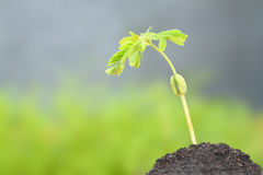Ung tamarindfruktgroddtillväxt Royaltyfri Bild