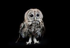 Ung Tawny Owl Arkivfoto