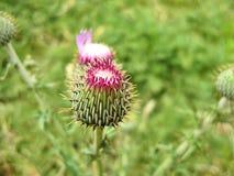 Ung Texas Thistle Bloom Cirsium texanum arkivfoto