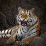 Ung tiger i handling av morrandet arkivfoton