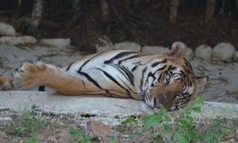 Ung tiger som vilar i den vihar nationalparken för skåpbil, Bhopal Arkivbild