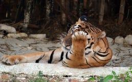 Ung tiger som vilar i den vihar nationalparken för skåpbil, Bhopal Arkivbilder
