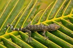 Ung tokay gecko på ett palmträdblad, Ang Thong National Marine Royaltyfri Bild