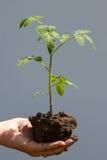 Ung tomat i en hand Royaltyfri Bild