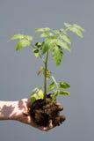 Ung tomat i en hand Fotografering för Bildbyråer