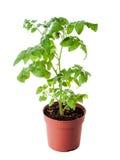 Ung tomatplanta som isoleras på vit bakgrund Arkivfoto
