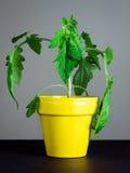 Ung tomatväxt Arkivbild