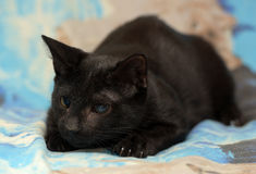 Ung tonårig shorthairkattunge på en blå bakgrund Fotografering för Bildbyråer