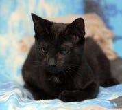 Ung tonårig shorthairkattunge på en blå bakgrund Arkivfoto