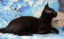 Ung tonårig shorthairkattunge på en blå bakgrund Royaltyfria Foton