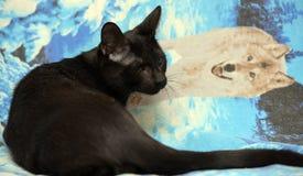 Ung tonårig shorthairkattunge på en blå bakgrund Royaltyfria Bilder