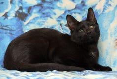 Ung tonårig shorthairkattunge på en blå bakgrund arkivfoton