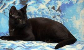 Ung tonårig shorthairkattunge på en blå bakgrund royaltyfri foto