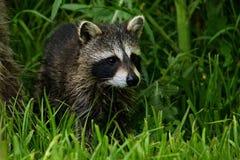 Ung tvättbjörn i gräset Arkivbild