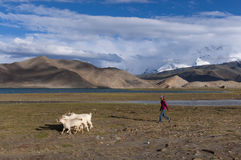 Ung Uyghur sheperdflicka med getter i Karakul sjön i nordvästliga Kina Arkivfoto