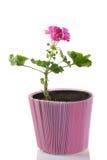 Ung växt av pelargonen i en krukaâympkvist Royaltyfria Bilder