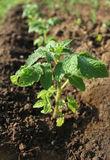 Ung växt av tomaten som växer i jorden Arkivfoton