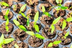 Ung växt för skörd Fotografering för Bildbyråer
