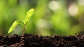 Ung växt i jorden lager videofilmer